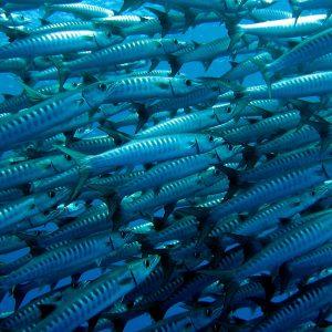 Blackfin Barracuda
